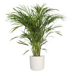 Goudpalm in ® ELHO b.for soft sierpot(Areca Dypsis)